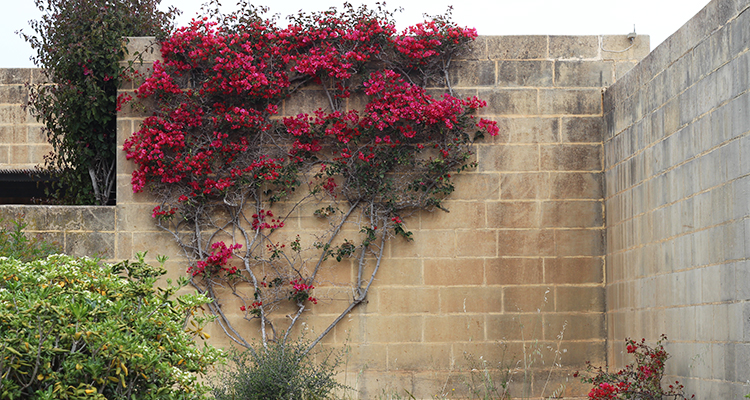 Bougainvillea - Malta - Mellieha Holiday centre