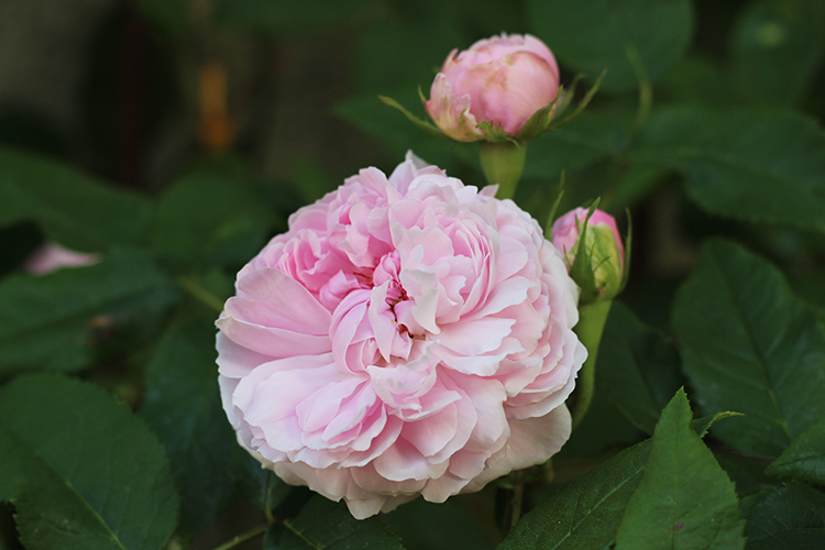 Lyserød rose 'Jacques Cartier'