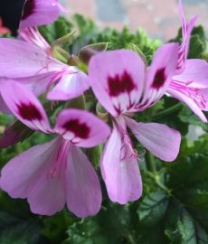 Duftgeranium Royal Oak