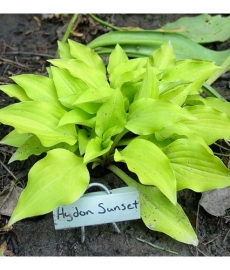 Hosta hybrid hydon sunse