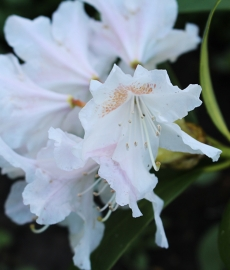 Rhododendron - Cunningham's White