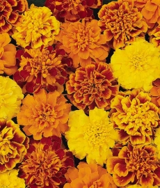 Tagetes mix