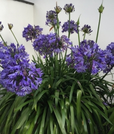 Agapanthus klump søges