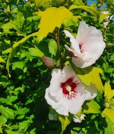 Syrisk rose/ have hibiscus/ hawaii blomst